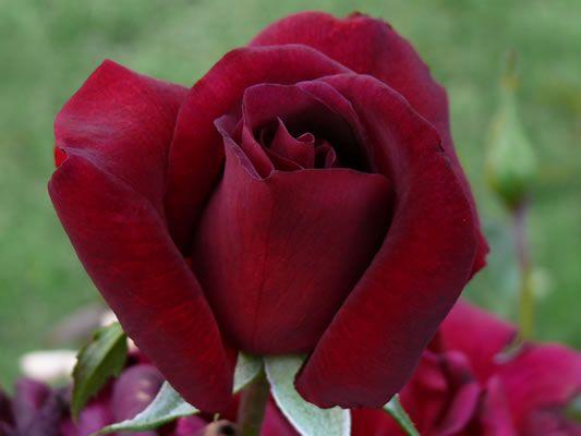 roses et fleurs de toutes sortes - page 8