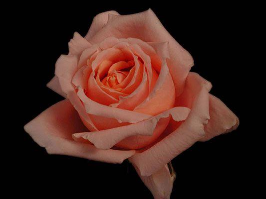 roses et fleurs de toutes sortes - page 9